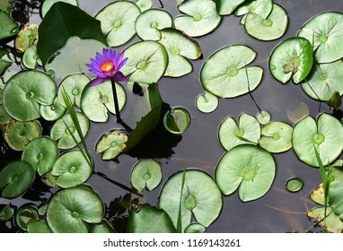 wild tropical water flower on water and leaves backgorund. tahen in French Guiana