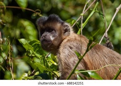 Wild Tufted Capuchin Monkey (Sapajus apella)