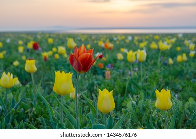 Wild tulips Schrenk in the steppes of the Kerch Peninsula at sunset.