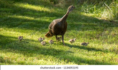 Wild turkey with chicks