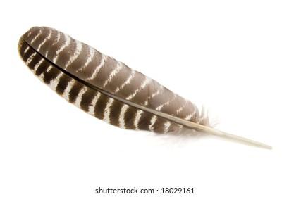 Wild Turkey feather isolated on white.