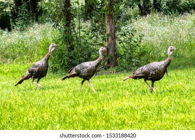 Wild Turkey (Meleagris gallopavo), Cedars of Lebanon State Park, Wilson County, Tennessee, USA