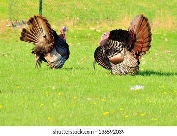 Wild Turkey strutting in the spring mating season for a female.