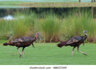 Wild Turkey Trotting