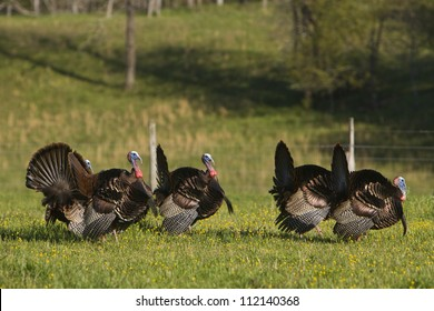 Wild turkeys in field