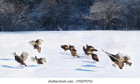 wild turkeys in a field during winter