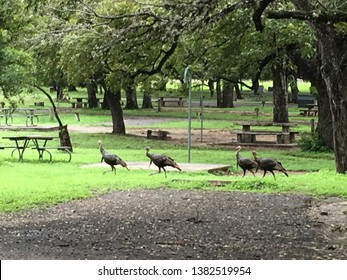 Wild turkeys grazing in Garner State Park, Texas