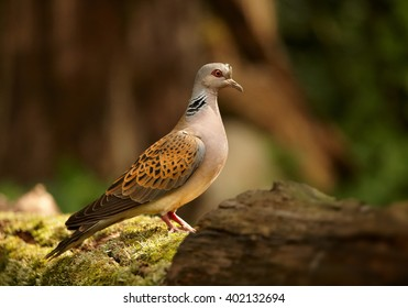 Wild Turtle Dove, Streptopelia turtur in close distance, perched on mossy trunk in summer forest. Wildlife photo, blurred forest in background. Hungary.