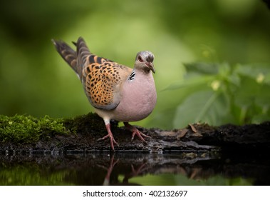 Wild Turtle Dove, Streptopelia turtur in very close distance, sitting on the rim of small mossy pond in summer european forest. Wildlife photo, blurred green forest in background. Hungary.