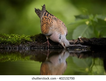 Wild Turtle Dove, Streptopelia turtur in very close distance, drinking water from small mossy pond in summer forest. Wildlife photo, blurred green forest in background. Hungary.
