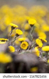 Wild Tussilago coltsfoot flowers