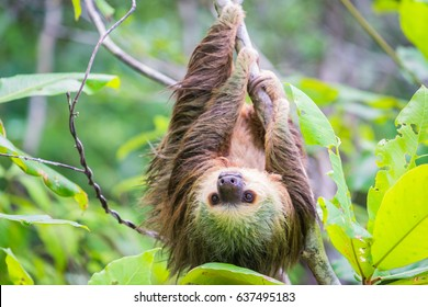 Wild two-toed sloth hanging on tree in Colon Island, Bocas del Toro, Panama.