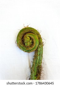 Wild vegetables - Studio shot of fiddlehead fern with white background