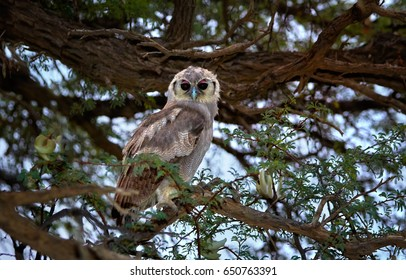 Wild  Verreaux's eagle-owl or giant eagle owl, Bubo lacteus, staring directly at camera. largest african owl perched on tree.