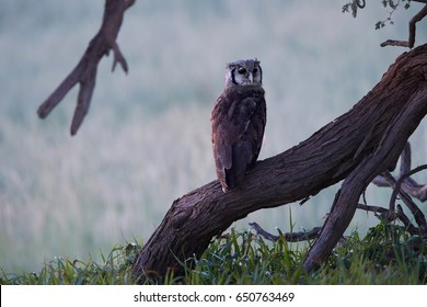 Wild  Verreaux's eagle-owl or giant eagle owl, Bubo lacteus, staring directly at camera. Wild milky eagle-owl, largest african owl  in evening, perched on a tree trunk. Kgalagadi transfrontier park.