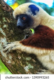 Wild Verreaux's sifaka in Berenty Reserve Madagascar