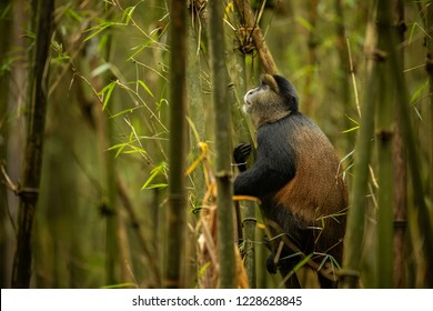 Wild and very rare golden monkey in the bamboo forest. Unique and endangered animal close up in nature habitat. African wildlife. Beautiful and charismatic creature. Golden monkey.Cercopithecus kandti