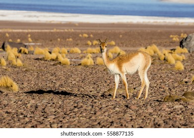 Wild vicuna looking straight on the Bolivian altiplano