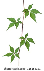 Wild vine against a white background