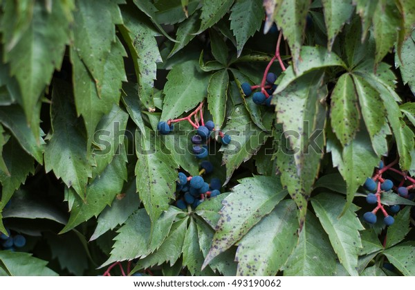 Wild vine in autumn with blue berries.