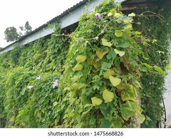 wild vine morning glory flowers creeping the whole wall of the abandoned house.