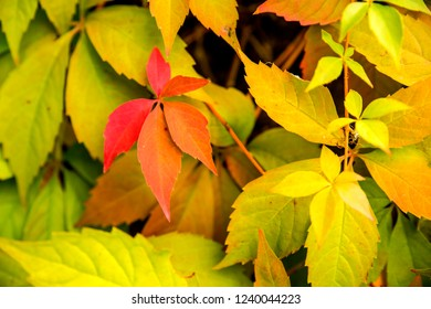 wild vines leaves at an old wall in autumnal colors
