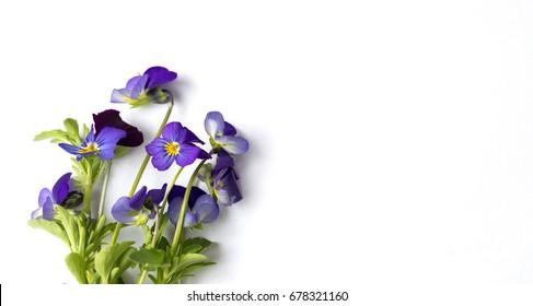Wild viola flower on white background isolated