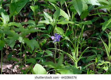 Wild violet flower somewhere in the forest of the Tsaritsyno park - Moscow, Russia