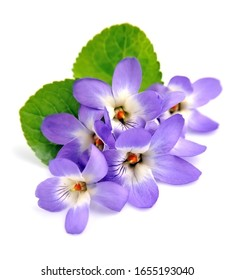 Wild violet flowers isolated on white backgrounds.