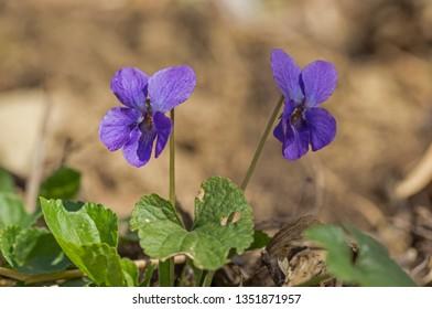 Wild Violet Viola Hirta. Flowering violet (Viola hirta)