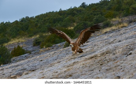 Wild Vulture landing on the side of a mountain