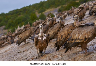 Wild Vulture lifting in the middle of a pack looking at camera