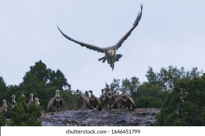 Wild Vulture taking flight over a clean sky