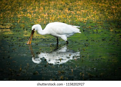 A wild wading spoonbill at sete cidades on the azores, looking for food. Reflection of the spoonbill in the lake.