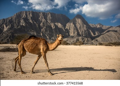 Wild walking Camel in mountains, Musandam peninsula, Oman, Arabia