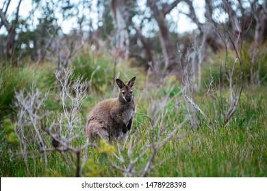 Wild wallaby hopping in bushes in Tasmania, Australia.