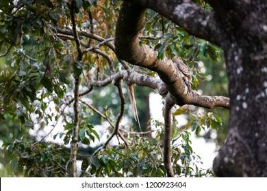 Wild Wallace's hawk-eagle (Nisaetus nanus) (earlier under the genus Spizaetus) in Sepilok, Borneo perched on tree branch