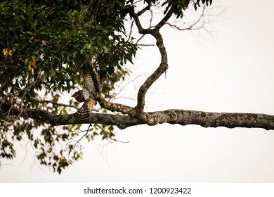 Wild Wallace's hawk-eagle (Nisaetus nanus) (earlier under the genus Spizaetus) in Sepilok, Borneo perched on tree limb with wings spread.