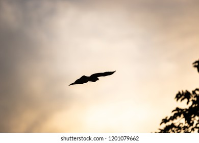 Wild Wallace's hawk-eagle (Nisaetus nanus) (earlier under the genus Spizaetus) in Sepilok, Borneo flying above the rainforest silhouette at sunset
