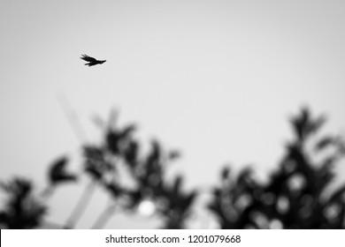 Wild Wallace's hawk-eagle (Nisaetus nanus) (earlier under the genus Spizaetus) in Sepilok, Borneo flying above the rainforest