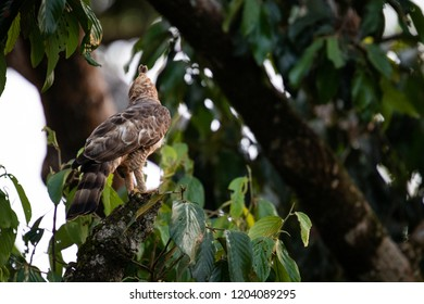 Wild Wallace's hawk-eagle (Nisaetus nanus) (earlier under the genus Spizaetus) close-up, perched on tree branch in Sepilok, Borneo, Malaysia