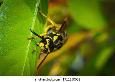 Wild wasp crawling on the leaf