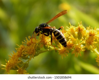 Wild wasp insect on meadow flowers close-up