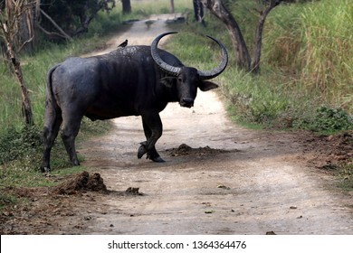 The wild water buffalo, also called Asian buffalo, Asiatic buffalo and wild Asian buffalo, is a large bovine native to the Indian Subcontinent and Southeast Asia.