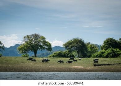 Wild water buffalos at river bank