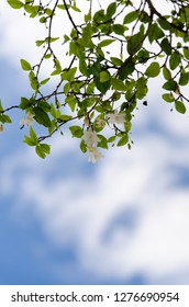 Wild Water Plum or Wrightia religiosa Benth - Small blooming white flowers and its green leafs with backdrop of white cloud and bright blue sky on a sunny day.