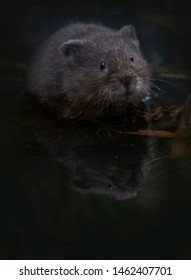 wild water vole in the river