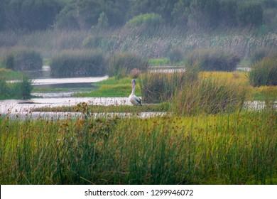 Wild western australian pelican fishing in lake inside Yanchep National Park