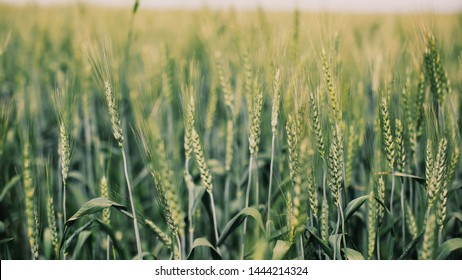 Wild wheat close up, taken in Galilee.
