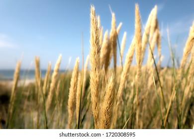 Wildes Weizengras auf einer Düne nahe der Ostsee.